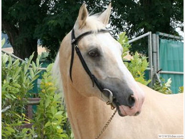 Saillie cheval Palomino