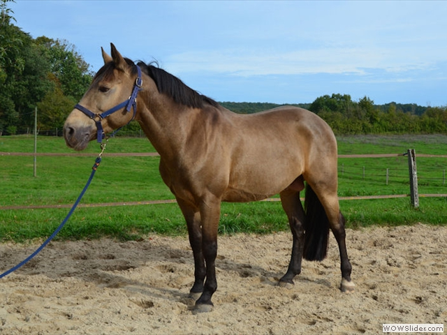 Etalon double poneys pour saillie
